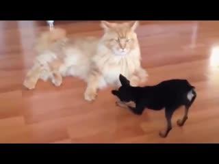 Кто в доме хозяин кот или собака ( юмор видео приколы )