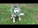 Неадекватное поведение Мужчины, натравил свою большую собаку командой ФАС на пятимесячных щенков.