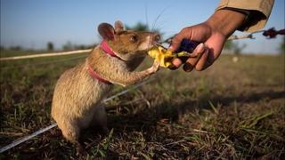 Маленький, но очень умный зверек, который во многом похож на нас! КРЫСА - интересные факты