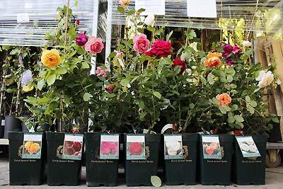 Выбираем саженцы роз правильно  На сегодняшний день сортов розы...