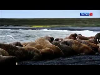 Несейка. Младшая дочь - Документальный фильм о морже из Ижевска.