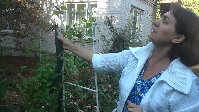 1 Трихозант змеевидный огурец Балкон в октябре