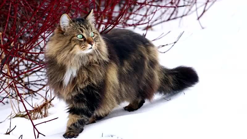 #Норвежская лесная #кошка - описание породы
