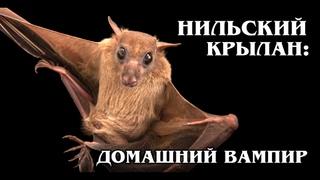 ЕГИПЕТСКИЕ ЛЕТУЧИЕ СОБАКИ: Нильские крыланы–причина лихорадки Эбола | Интересные факты про животных