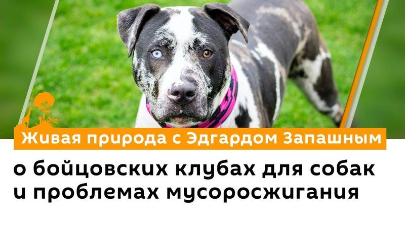 Эдгард Запашный о бойцовских клубах для собак и проблемах мусоросжигания