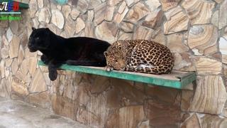 Леопарды, Гепарды и другие животные Тайгана!