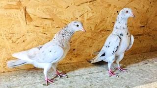 Бакинские голуби, большие потери! Baku pigeons, big losses!