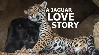 Любовь. Семья. The Love Story Of Jaguars; Neron and Keira! - The Big Cat Sanctuary