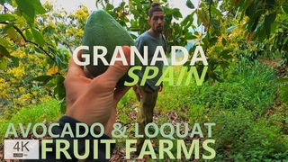 FRUIT FARM SPAIN, Granada, Costa Tropical   LOQUAT & AVOCADO Farm   Fruit Garden 4 K Walking Tour