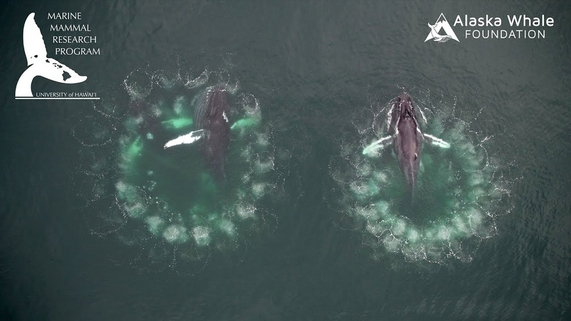 Whale bubble-net feeding documented by UH researchers through groundbreaking video