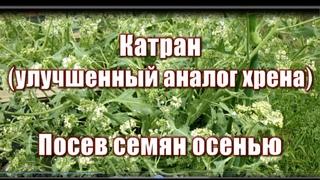 290_Катран (улучшенный аналог хрена). Посев семян осенью.
