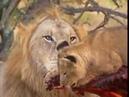 Львы жрут людей охота на льва убийцу ,нападения больших животных на людей