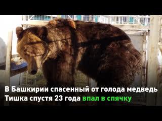 В Башкирии спасенный от голода медведь Тишка спустя 23 года впал в спячку
