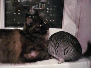 Кошка и шиншила