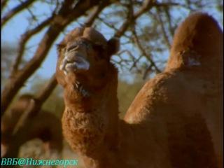 BBC «Дикая Австралазия» - Сердце пустыни (Документальный, 2003)