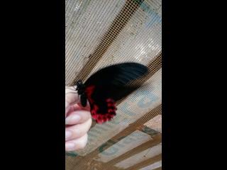 Тропические бабочки-летающие цветы.