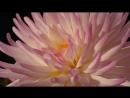 Красота распускающихся цветов!