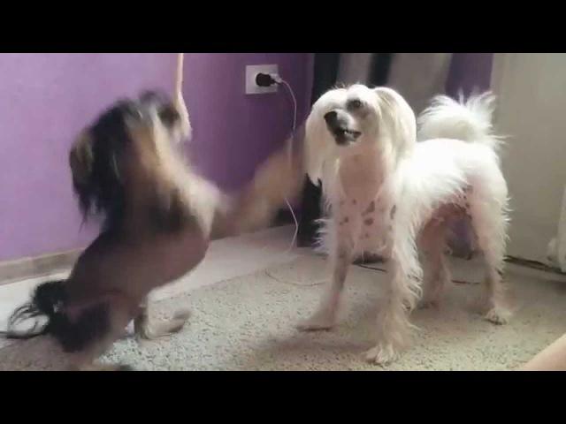 Китайская хохлатая собака Chinese Crested Dog Funny Dogs Fynny Videos