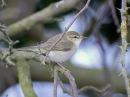 Пеночка-весничка Willow Warbler Phylloscopus trochilus
