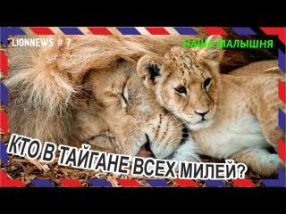 Львиная новость №7. Львята