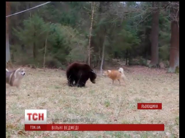 У селах довкола містечка Дрогобич на Львівщині вільно розгулюють ведмеді