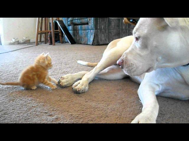 Cute kitten with pitbull