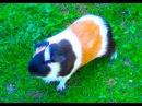 Guinea Pig Noises Loud Squeaking Sounds