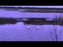 Брачный танец белых лебедей