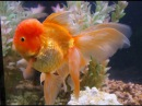 Оранда красная (Oranda red)