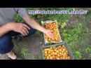 Созрели абрикосы в г Серпухове в Подмосковье 2015г
