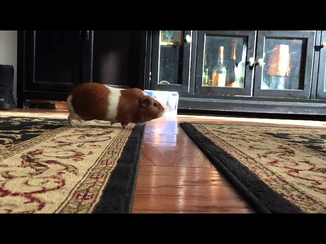 Guinea pigs Jumping over the Lava