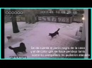 Perros planean como atacar pelear a otro perro