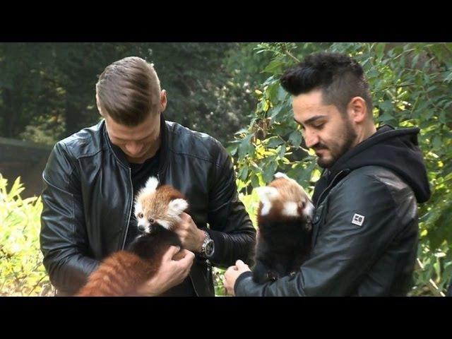 Zoo statt Fußballplatz Gündogan und Piszczek werden Panda Paten