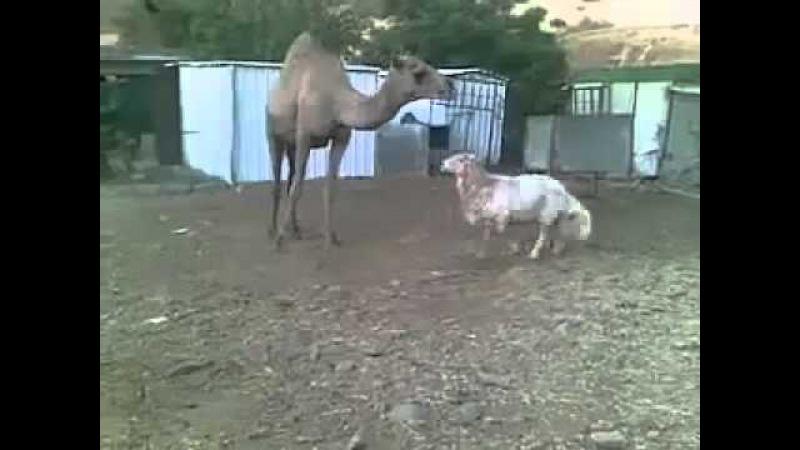 Баран vs Верблюд Sheep vs Camel