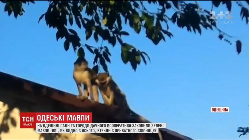 Мавпи атакують Чому одеським дачникам доводиться захищати свої сади від екзотичних утікачів