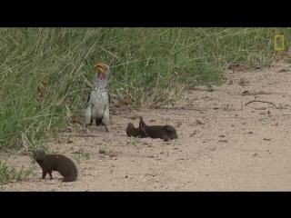 Мангуст в африканском парке подбежал к птице-носорогу  и вдруг упал на землю, притворившись мертвым.