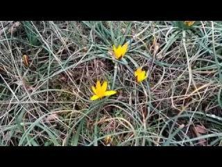 Весенние цветы Крыма. Крым в феврале, Судак, крокусы в горах