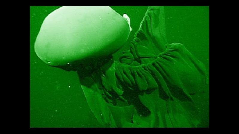 Stygiomedusa Gigantea Deepsea Oddities