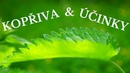 Kopřiva léčebné účinky kopřivový čaj a jeho účinky Zdraví z přírody