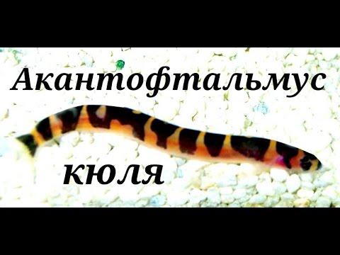 Аквариумные рыбки Акантофтальмус кюля