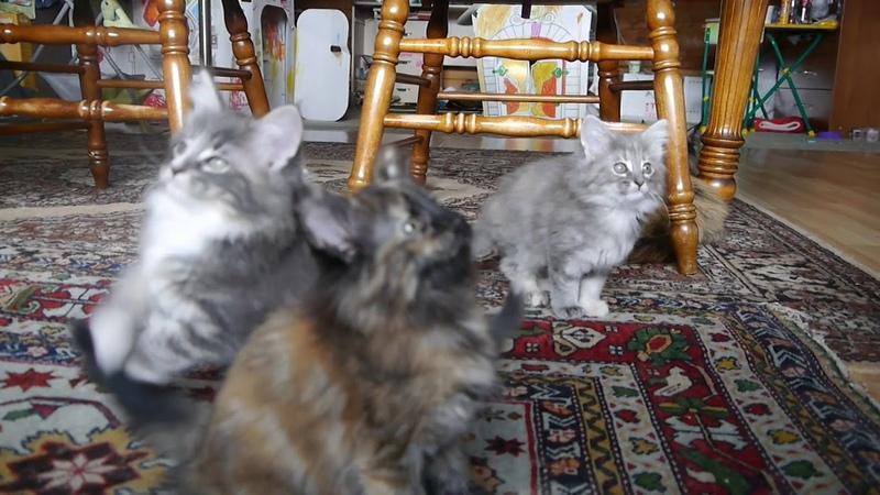 Норвежские лесные котята Барбара, Белла, Белинда, Беата и Базилио, fashionpeak.ru