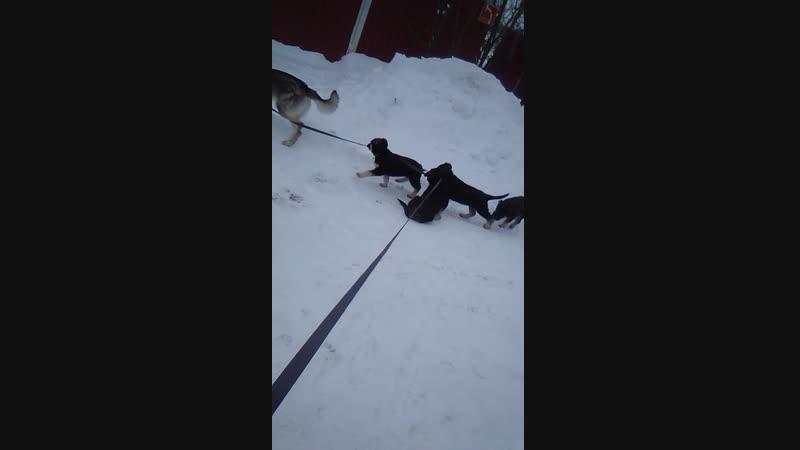 наши девочки от Верного Друга Цорби и Фиелисс Святогора выгуливают влчака Глесси