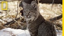 Bobcat Cubs Steal Mom's Food National Geographic