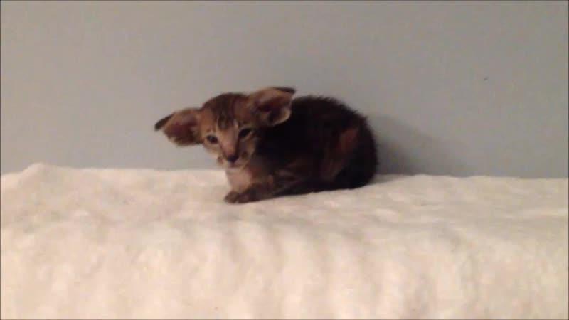 ориентальный котенок продажа WhatsApp +79290013864