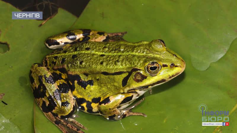 Біологи наполохані у Чернігові на автошляхах масово гинуть…жаби