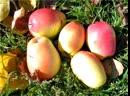 «Кара синап» – крымская яблоня, дававшая по полторы тонны урожая с одного дерева