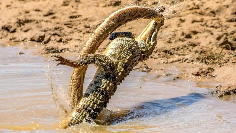 Крокодил в деле. Версус крокодил против кабана антилопы зебры. Битвы животных.