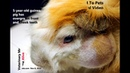 Абсцесс челюсти у морской свинки A guinea pig stops eating again and has a swollen jaw abscess