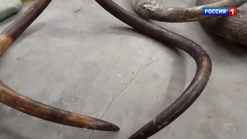 Через Домодедово пытались вывезти бивень мамонта, которому больше 10 тысяч лет
