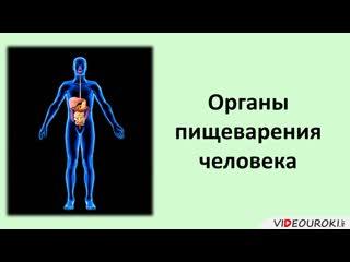 Органы пищеварения человека (Видеоурок)...